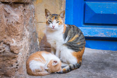 Ξένοιαστες γάτες οδών στο Μαρόκο, Essaouira sity Πορτρέτο οδών της γάτας βαμβακερού υφάσματος με ένα γατάκι Στοκ φωτογραφίες με δικαίωμα ελεύθερης χρήσης