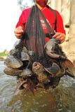 Ξέσπασμα ψαριών Plecostumus (sucker ψάρια) στον ποταμό, Ταϊλάνδη. Στοκ Εικόνα