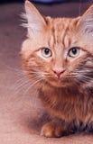 Ξέφρενα γάτα Στοκ φωτογραφίες με δικαίωμα ελεύθερης χρήσης