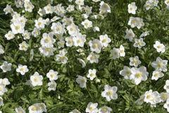 Ξέφωτο με τα ανθίζοντας άσπρα λουλούδια anemones Στοκ φωτογραφία με δικαίωμα ελεύθερης χρήσης