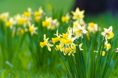Ξέφωτο του κίτρινου ελατηρίου κρεβατιών λουλουδιών daffodils Στοκ Εικόνες
