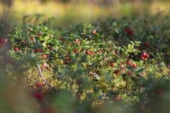 Ξέφωτο των βακκίνιων στο δάσος Στοκ φωτογραφίες με δικαίωμα ελεύθερης χρήσης