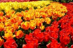 Ξέφωτο των κόκκινων και κίτρινων φρέσκων τουλιπών στον κήπο Keukenhof, Κάτω Χώρες Στοκ Εικόνα