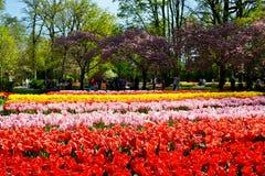 Ξέφωτο των κόκκινων και κίτρινων φρέσκων τουλιπών στον κήπο Keukenhof, Κάτω Χώρες Στοκ εικόνα με δικαίωμα ελεύθερης χρήσης