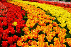 Ξέφωτο των κόκκινων και κίτρινων φρέσκων τουλιπών στον κήπο Keukenhof, Κάτω Χώρες Στοκ φωτογραφίες με δικαίωμα ελεύθερης χρήσης