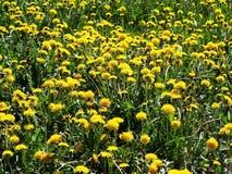 Ξέφωτο των πρώτων λουλουδιών άνοιξη των κίτρινων πικραλίδων στοκ φωτογραφίες