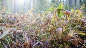 Ξέφωτο των φύλλων του κρίνου των majalis Convallaria κοιλάδων Στοκ Φωτογραφίες