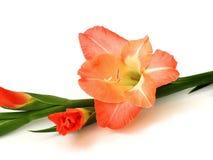 ξίφος λουλουδιών Στοκ Εικόνες