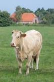 Ξανθή αγελάδα δ ` Aquitaine σε ένα λιβάδι με το fram Στοκ φωτογραφία με δικαίωμα ελεύθερης χρήσης