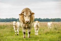 Ξανθός ταύρος δ ` Aquitaine στοκ εικόνες