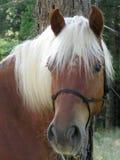 ξανθό άλογο Στοκ Εικόνες