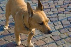 Ξανθό σκυλί στο πρώτο πλάνο Στοκ εικόνες με δικαίωμα ελεύθερης χρήσης