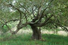 ξαπλώνοντας δέντρο Στοκ Εικόνες