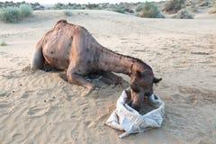 Ξαπλώστε και δείτε τις καμήλες τρώει στοκ εικόνες με δικαίωμα ελεύθερης χρήσης