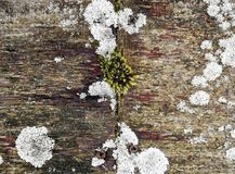 Ξεπερασμένη ξύλινη επιφάνεια με τη ζωηρόχρωμη βλάστηση των λειχήνων και του βρύου Στοκ Εικόνα