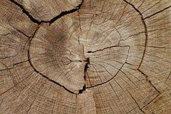 Ξεπερασμένη δρύινη διατομή δέντρων Στοκ Εικόνες