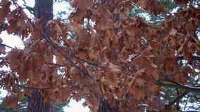 Ξεράνετε τα φύλλα που κρεμούν σε ένα δέντρο σε ένα χειμερινό δάσος απόθεμα βίντεο