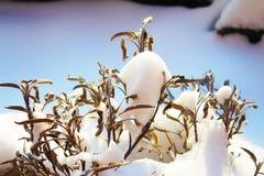 Ξεράνετε τα φύλλα της φασκομηλιάς στο ηλιόλουστο χιόνι στοκ φωτογραφία