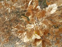ξεράνετε τα φύλλα το χειμώνα Στοκ Φωτογραφία