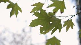 Ξεράνετε τα φύλλα sycamore στους κλάδους δέντρων απόθεμα βίντεο