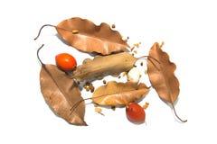 Ξεράνετε τα φύλλα και τα καφετιά φύλλα Στοκ Εικόνες