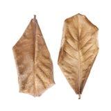 Ξεράνετε τα φύλλα που απομονώνονται με το ψαλίδισμα της πορείας Στοκ εικόνα με δικαίωμα ελεύθερης χρήσης