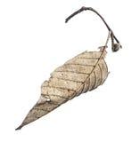 Ξεράνετε τα φύλλα που απομονώνονται στο λευκό Στοκ εικόνα με δικαίωμα ελεύθερης χρήσης