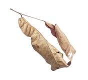 Ξεράνετε τα φύλλα που απομονώνονται στο λευκό Στοκ φωτογραφία με δικαίωμα ελεύθερης χρήσης