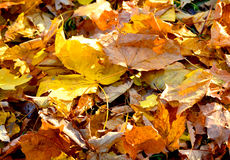 Ξεράνετε τα φύλλα δύο Στοκ Εικόνα