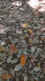 Ξεράνετε τα φύλλα Στοκ Φωτογραφίες