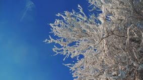 Ξεράνετε την παγωμένη λεύκα στο χιόνι χειμερινής ημέρας δέντρων κλάδων πάγου στο όμορφο τοπίο τρόπου ζωής έντονου φωτός ήλιων φωτ απόθεμα βίντεο