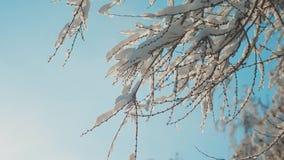 Ξεράνετε την παγωμένη λεύκα στο χιόνι χειμερινής ημέρας δέντρων κλάδων πάγου στο όμορφο τοπίο έντονου φωτός ήλιων φωτός του ήλιου φιλμ μικρού μήκους