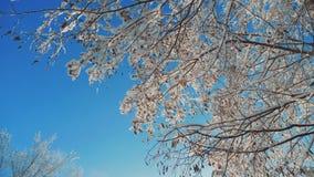 Ξεράνετε τον παγωμένο σφένδαμνο στο χιόνι χειμερινής ημέρας δέντρων κλάδων ελικοπτέρων πάγου στο όμορφο τοπίο έντονου φωτός ήλιων απόθεμα βίντεο