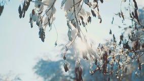 Ξεράνετε το παγωμένο χιόνι χειμερινής ημέρας δέντρων κλάδων ελικοπτέρων σφενδάμνου στο όμορφο τοπίο έντονου φωτός ήλιων φωτός του φιλμ μικρού μήκους