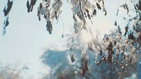 Ξεράνετε το παγωμένο χιόνι χειμερινής ημέρας δέντρων κλάδων ελικοπτέρων σφενδάμνου στο όμορφο τοπίο έντονου φωτός ήλιων φωτός του απόθεμα βίντεο