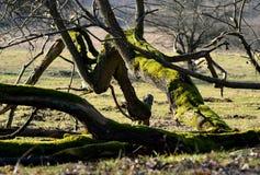 Ξεράνετε το πεσμένο παλαιό δέντρο που καλύπτεται με το βρύο Στοκ φωτογραφία με δικαίωμα ελεύθερης χρήσης