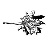 Ξεράνετε το πεσμένο φύλλο σφενδάμου Στοκ Φωτογραφία