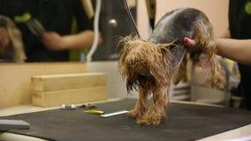 Ξεράνετε το σκυλί με ένα hairdryer μετά από την πλύση απόθεμα βίντεο