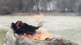 Ξεράνετε το φλοιό του παλαιού καψίματος δέντρων στην πυρκαγιά δασικό στενό σε επάνω Καίγοντας παλαιό δέντρο κορμών απόθεμα βίντεο