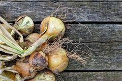Ξεραίνοντας δέσμη των κίτρινων κρεμμυδιών στο αγροτικό σκοτεινό ξύλο άνωθεν SP Στοκ Φωτογραφίες