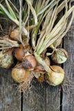 Ξεραίνοντας δέσμη των κίτρινων κρεμμυδιών στο αγροτικό σκοτεινό ξύλο άνωθεν SP Στοκ εικόνα με δικαίωμα ελεύθερης χρήσης