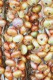 Ξεραίνοντας κρεμμύδια Στοκ Εικόνες
