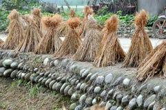 ξεραίνοντας ρύζι φυτών pengzhou τη&si Στοκ εικόνα με δικαίωμα ελεύθερης χρήσης