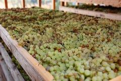 Ξεραίνοντας σταφύλια για την παραγωγή Vino Santo, ιταλικό κρασί επιδορπίων Στοκ εικόνες με δικαίωμα ελεύθερης χρήσης