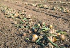 Ξεραίνοντας τα ώριμα κρεμμύδια στον τομέα που συγκομίζει λίγο πριν Στοκ φωτογραφία με δικαίωμα ελεύθερης χρήσης