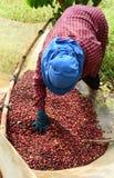 Ξεραίνοντας τον κόκκινο καφέ μούρων στον ήλιο Στοκ εικόνα με δικαίωμα ελεύθερης χρήσης
