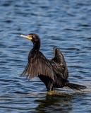 Ξεραίνοντας φτερά κορμοράνων Στοκ Φωτογραφίες