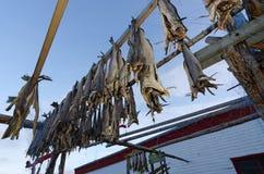 Ξεραίνοντας ψάρια βακαλάων Στοκ Εικόνες