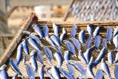 ξεραίνοντας ψάρια Στοκ Εικόνες