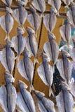 Ξεραίνοντας ψάρια Στοκ φωτογραφίες με δικαίωμα ελεύθερης χρήσης